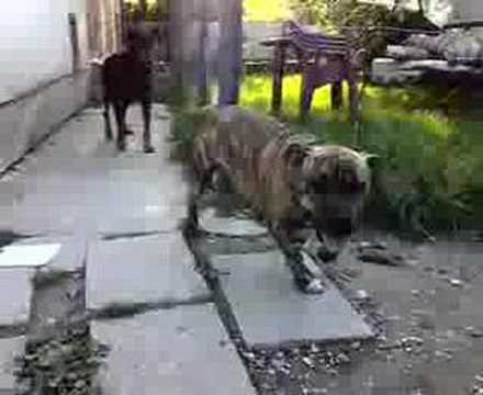 TIGER THE SILLY PITBULL Video
