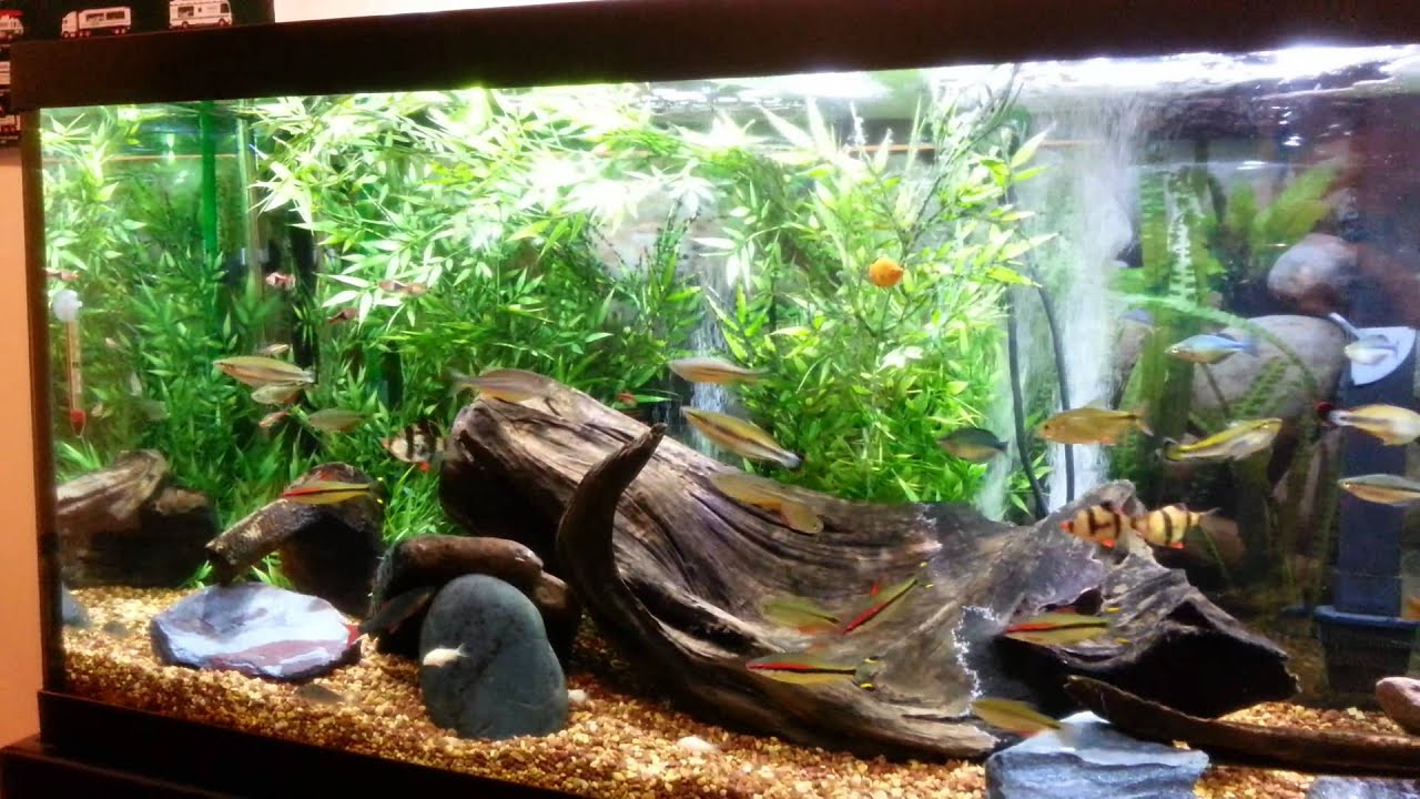 75 gallon community aquarium youtube for Good community fish
