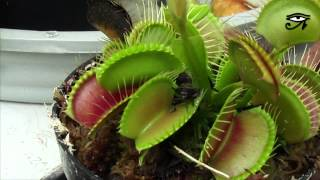 Dionaea muscipula - Planta carnívora