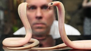 SEXING DEADLY BABY COBRAS!!! | BRIAN BARCZYK