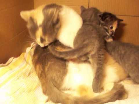 Dovanojama katė Lama ir 5 kačiukai :)