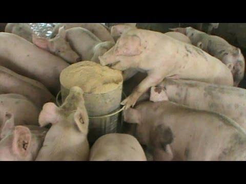 Thailand Pig Farm, Small scale factory farm in rural Thailand.