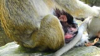 Popeye Got sad cos see another newborn baby monkey Lori