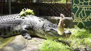 HOW TO FEED A GIANT CROCODILE CAREFULLY….PHILIPPINES. TRAVEL, CULTURE, ADVENTURE...