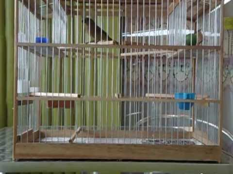 Trini Bullfinch By Frankie 2012 video