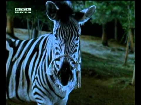 I can be your HERO baby  - Zebra trkačica ( RACING STRIPES )
