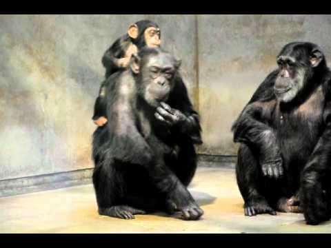 お母さんで遊ぶチンパンジーのハロー♂(いしかわ動物園)