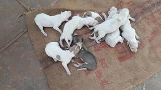 Mudhol hound puppies male and female available contact number. 9741041267