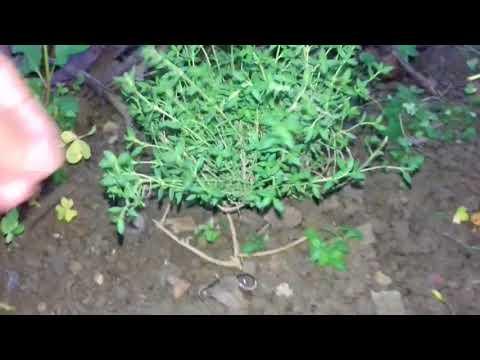 نبتة الزعتر  le thym thumbnail