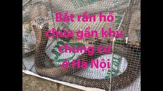 Bắt rắn hổ mang chúa ở khu chung cư Hà Nôij