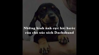 Bật cười vì sự hài hước, dễ thương của chó xúc xích Dachshund