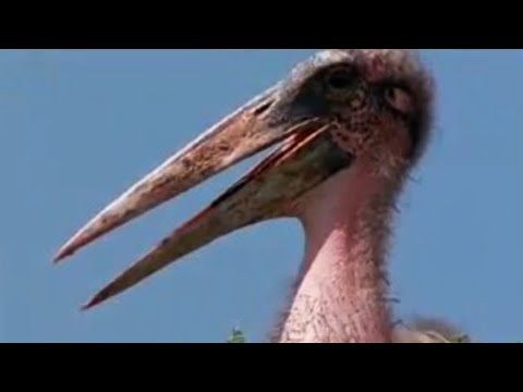 Birds' nesting colony in the Savannah - amazing nature photography - BBC wildlife