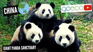 Volunteer with Pandas in China | GoEco
