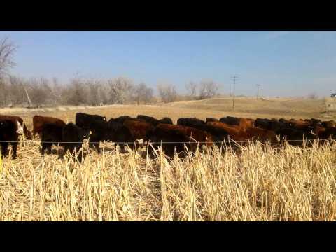 Golden Valley Farm 2013 Calf Crop, Hays, Kansas
