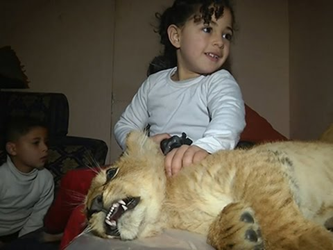 Raw: Gaza Family Adopts Two Lion Cubs