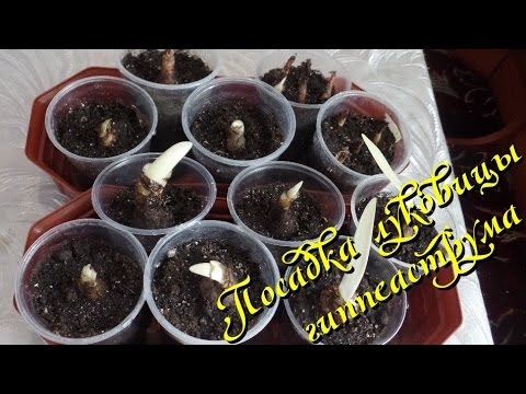 Как размножить в домашних условиях домашнюю розой