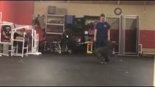 Dog Training | Recall with Sherlock | Solid K9 Training Dog Training