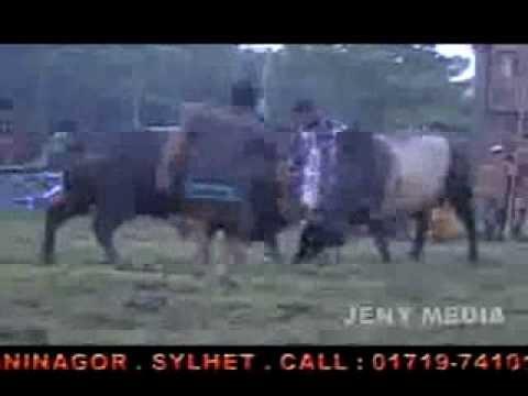 media bangladesh bullfight