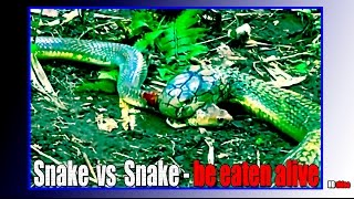 Snake cannibal vs Snake - be eaten alive