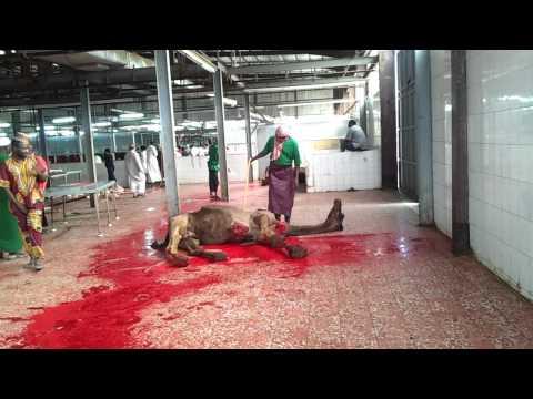 camel slaughter / menyembelih unta