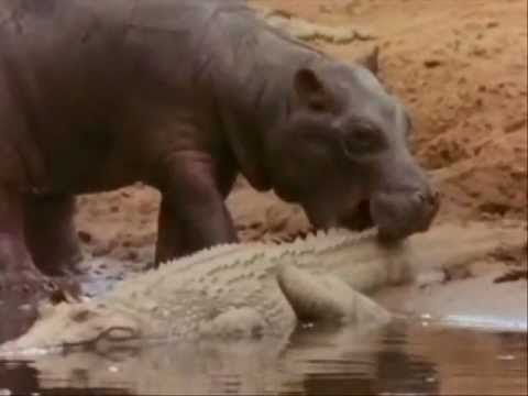 Hippo Vs Crocodile at the water hole Killing Frenzy.. Music Videos