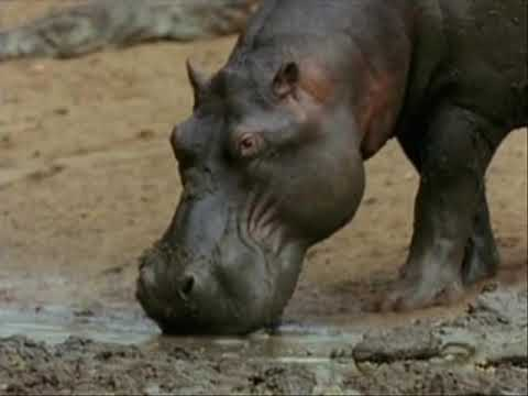 Hippo Vs Crocodile at the water hole Killing Frenzy..