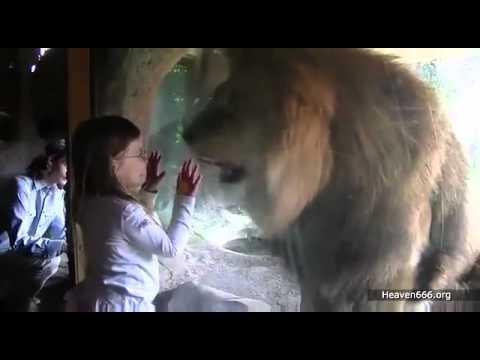 Ataque animal - leon ataka. que fuera de la niña si no estuviera el vidrio