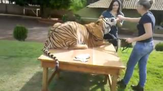 Giving bottle for Tiger - Dando mamadeira para o tigre