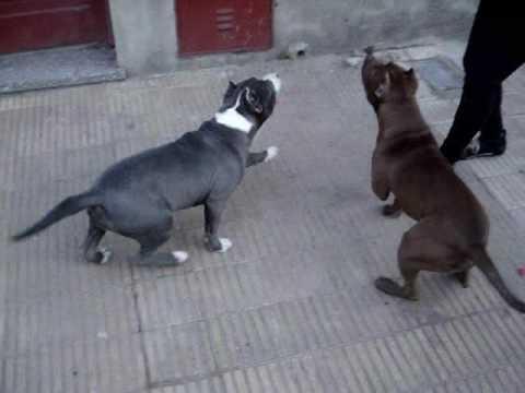 Entrenamiento Canino - Pit Bull  -  Histeria y Tirano Monarquía Pit Bull