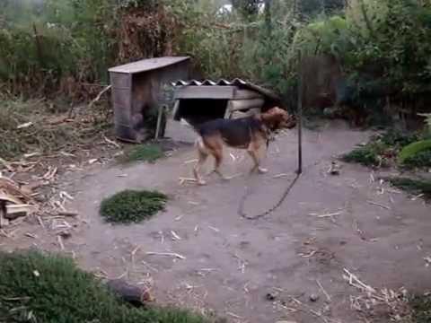 Даже животные читают намаз , DOG SING A SONG