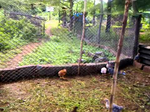 Backyard poultry- equipment for organic chick rearing
