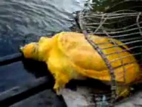 kura-kura emas / golden turtle on Borneo