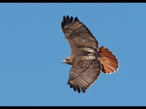 Kate Wolf - The Redtail Hawk