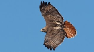 Watch Kate Wolf The Redtail Hawk video
