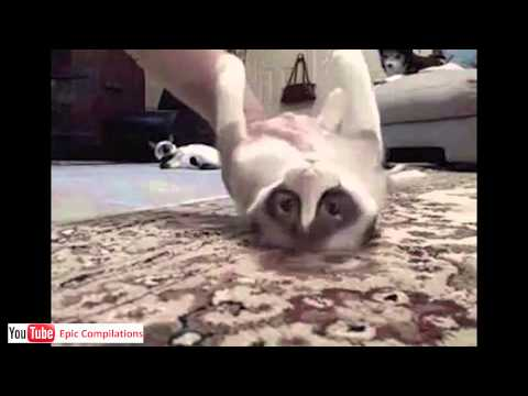 Epic Funny Cats   Cute Cats Compilation  -  60 Minutes!! [hd][hq] video