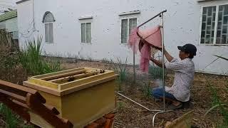 """Nhập trực tiếp 3 đàn ong mật mới bắt vào thùng nuôi """"săn bắt đồng nai """""""
