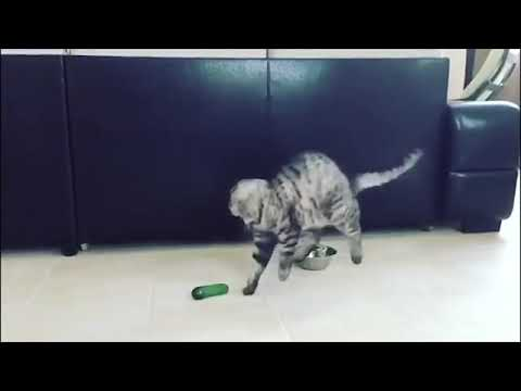 funny cats scared .cat vs cucumber compilatoin
