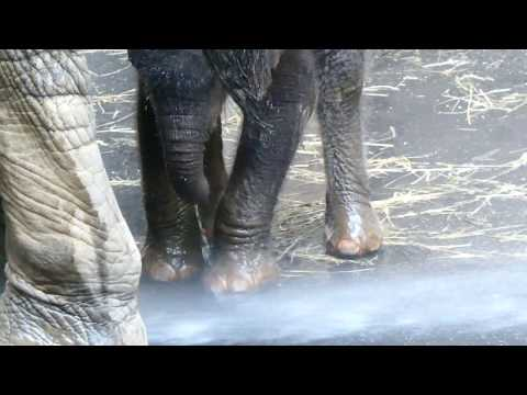 Dusche Elefantenbaby Kibali 8 d, lernt gehen! Schönbrunn * 13. 7. 2019 Loxodonta africana Lumix fz82