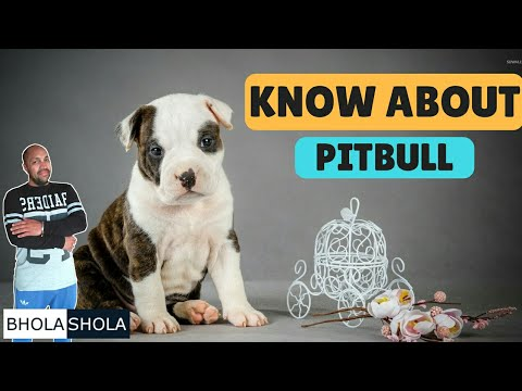 Pet Care - Know About Pitbull - Bhola Shola
