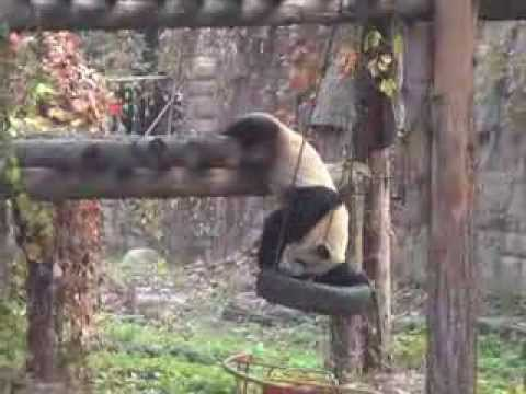 Panda bear playing with a swing tire