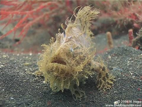 "This classic muck dive is also on the Sulawesi bank of the Lembeh Strait and is so named because of the clumps of weed lying on the black volcanic sand. The video opens with a striated anglerfish (hairy frogfish - Antennarius striatus) ""running"" across the seabed then squaring up to the camera, and closes with an Ambon scorpionfish (Pteroidichthys amboinensis) lunging at a small bypasser.   In between we meet various nudibranchs including the distinctive Melibe viridis, an orange devil scorpionfish, a moray eel hosting a clear cleaner shrimp, a strapweed filefish, a peacock mantis shrimp, an urchin crab taking cover under a blue-spotted urchin, and a juvenile emperor snapper and red lionfish in the midst of a group of blue-spotted urchins.  Shot in June 2006 at http://www.TwoFishDivers.com  The music is Starbeam by Toao of http://www.soilsound.com  More Lembeh Strait muck diving videos on http://www.bubblevision.com/underwater-videos/Lembeh/"