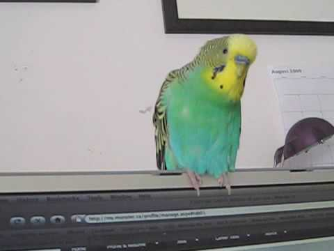 My talking budgie. Sort of...