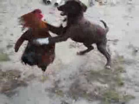 Rooster Kills Dog Dog Attacking Rooster