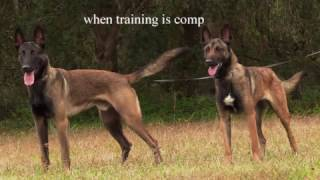Brandy and Konx Premier Protection Dogs
