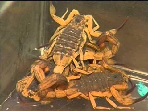 Cresce o número de escorpiões capturados em Ituiutaba