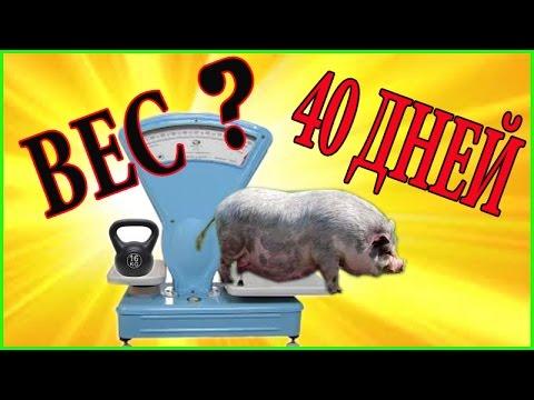 Вьетнамские поросята // вес в 40 дней // Моё подворье