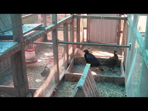 Клетки для фазанов видео