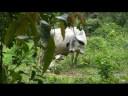 Parto de vaca
