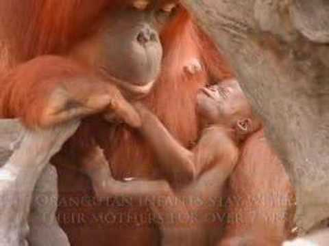 Orangutans - Keep Holding On