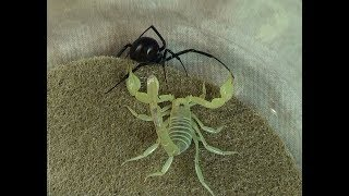 Black Widow Spider vs. Desert Hairy Scorpion: Educational Natural Pest Control Test